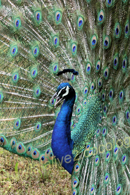 Peacock2012052513_3