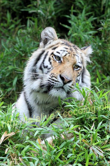 Tiger20120525