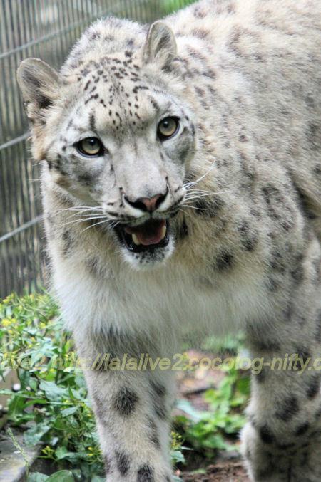 Snowleopard201205253