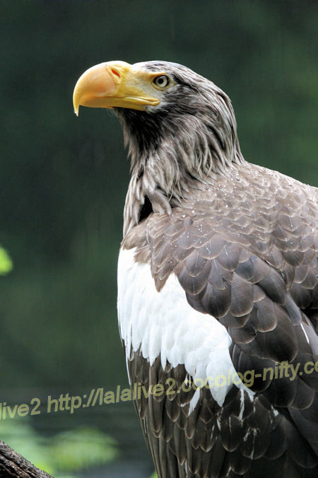 Stellers_sea_eagle201205251