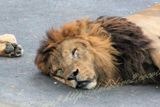 Lion201207241