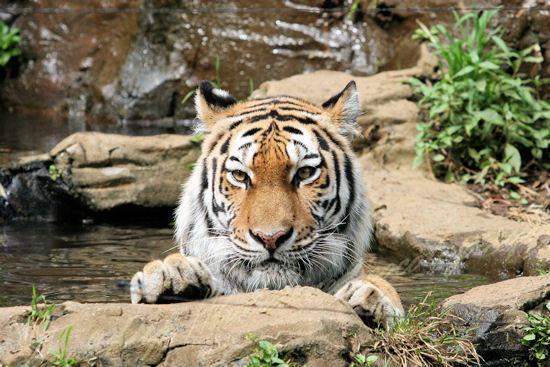 Tiger20120724