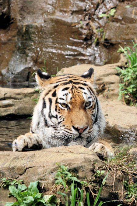 Tiger201207241