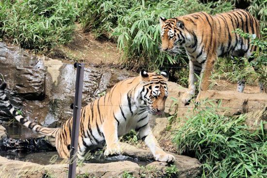 Tigers20120724