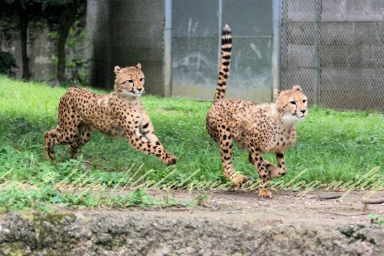 Cheetah20120724