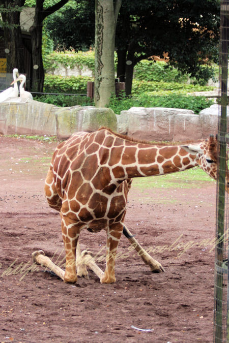Giraffe20120724