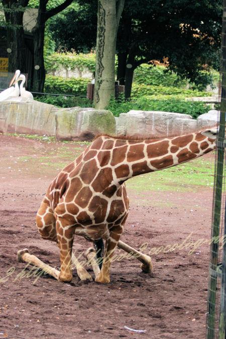 Giraffe201207242