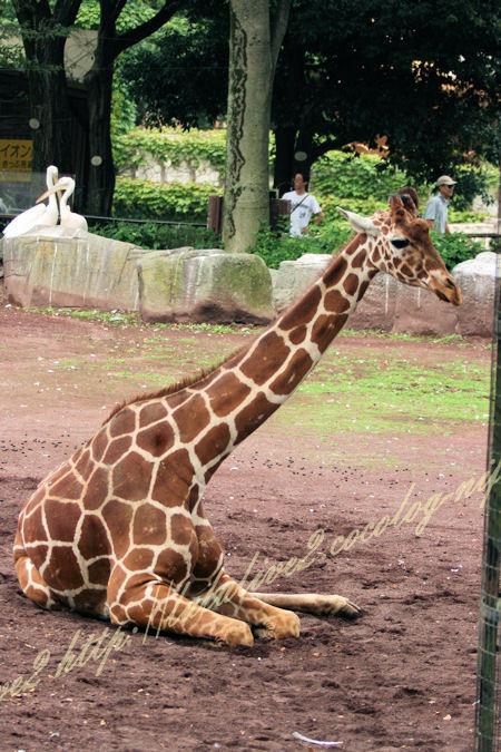 Giraffe201207244