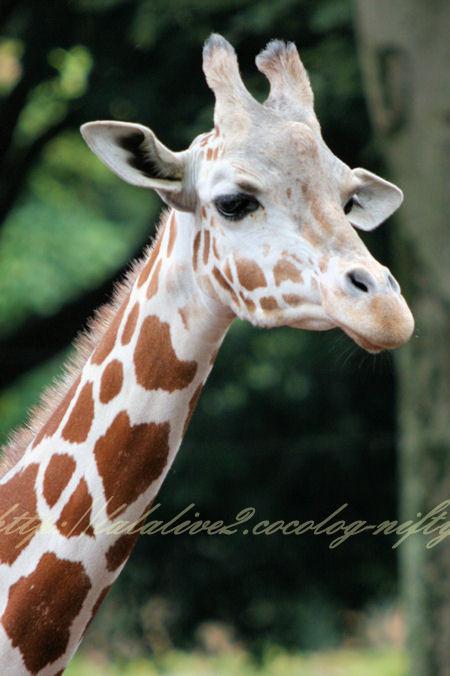 Giraffe201207245