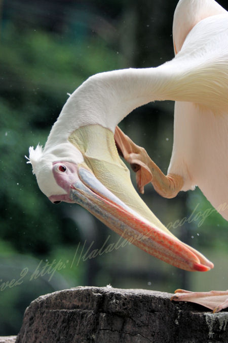Pelican20120724