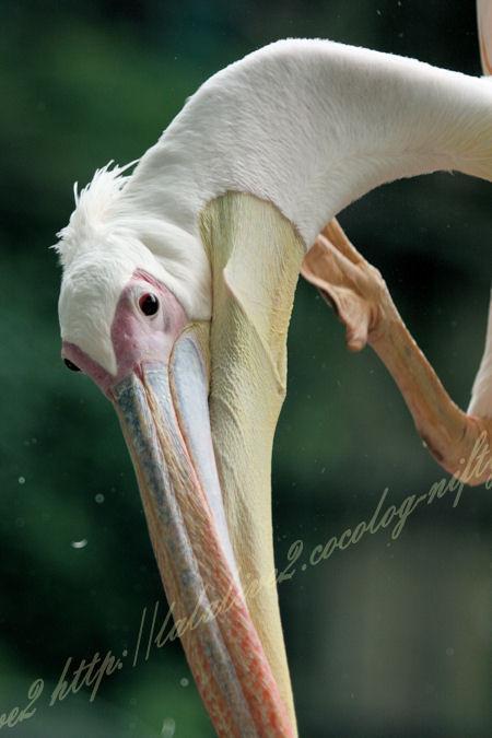 Pelican201207241