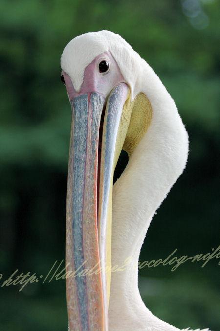 Pelican201207242_2