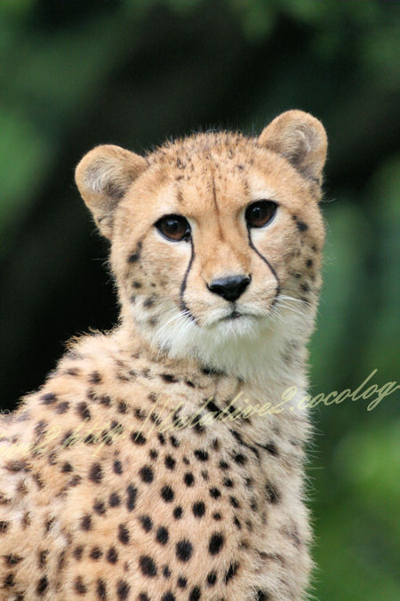 Cheetah201207241