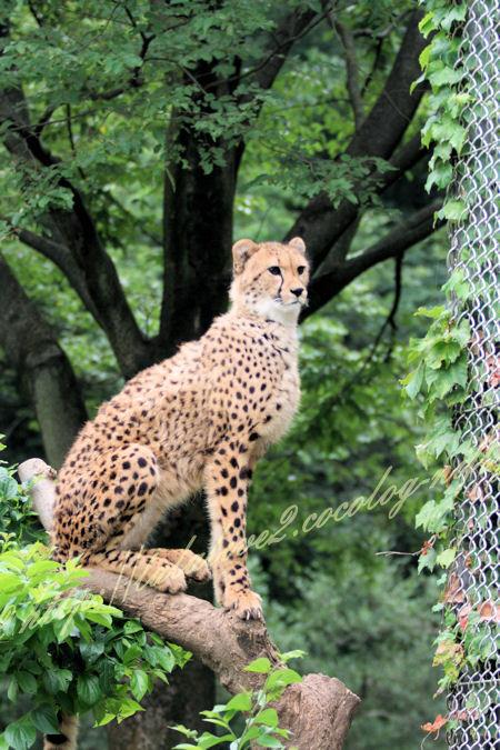 Cheetah201207242