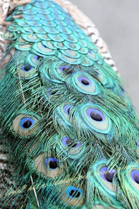 Peacock201207242