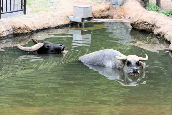 Water_buffalo20120724