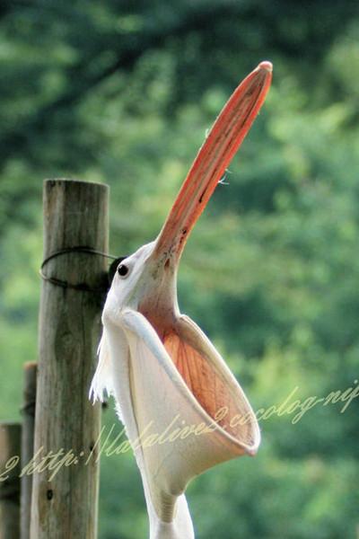 Pelican2012072410_2