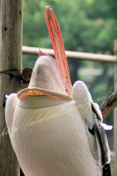Pelican2012072412
