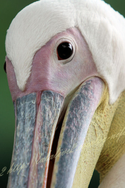 Pelican2012072414