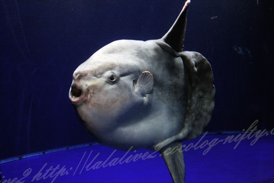 Ocean_sunfish20120907