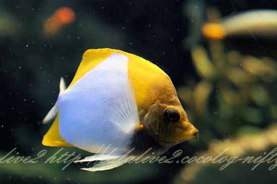 Brushytooth_butterflyfish20120907
