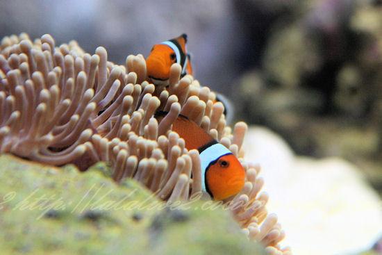 Clownfish20120907