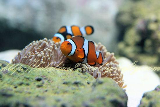 Clownfish201209071