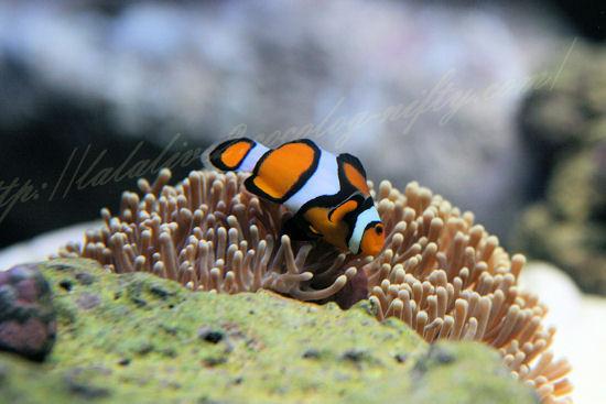 Clownfish201209072