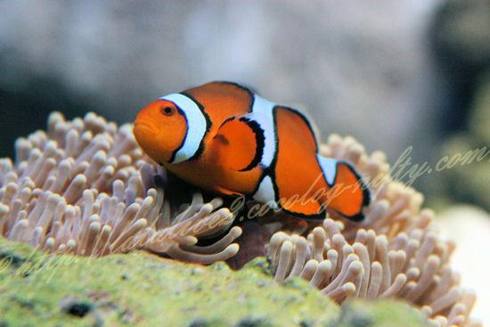 Clownfish201209073