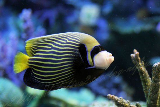 Emperor_angelfish20120907