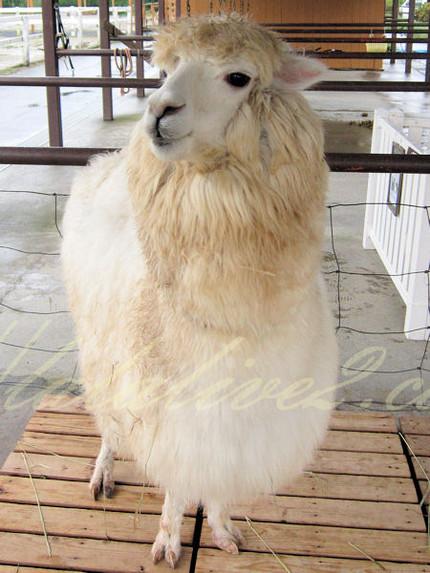 Alpaca20120924