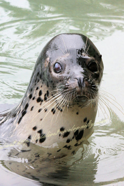 Spotted_seal120120924