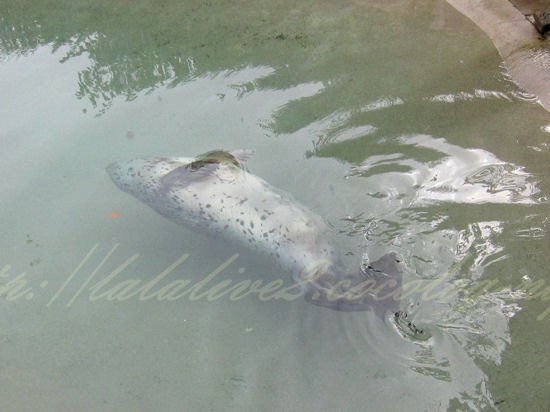 Spotted_seal20120924