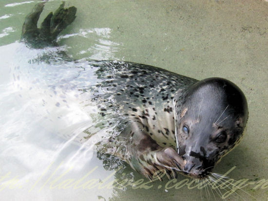 Spotted_seal201209242