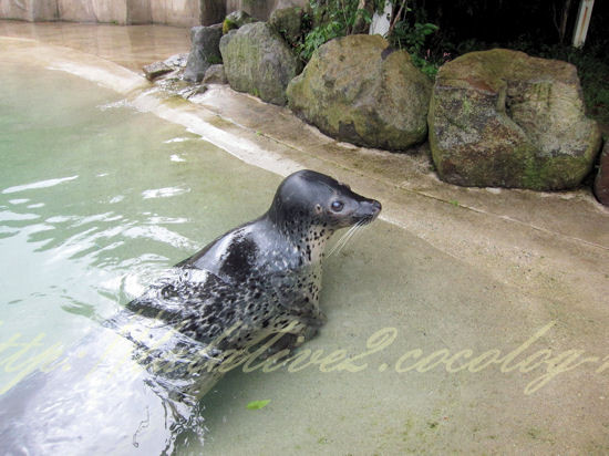 Spotted_seal201209243