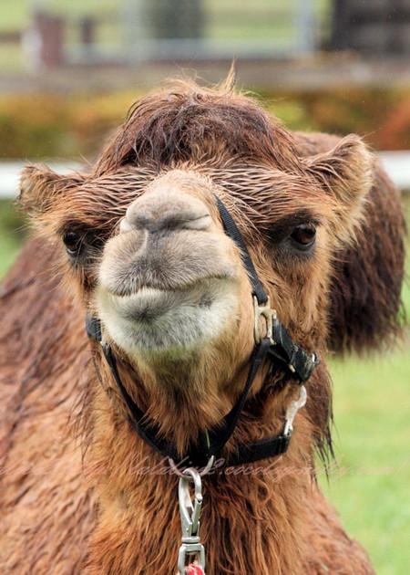 Camel20120924