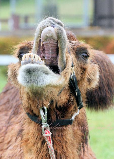Camel201209241