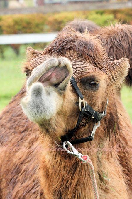 Camel201209242
