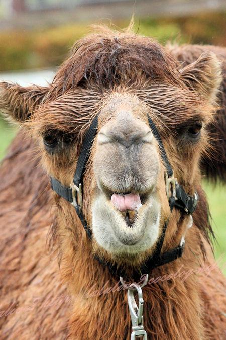 Camel201209243