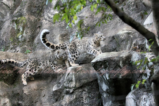Snowleopards20121025