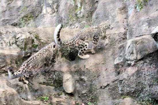 Snowleopards201210251