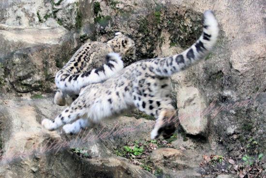 Snowleopards201210252