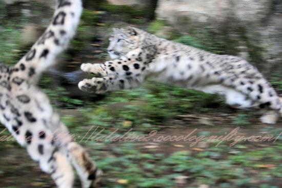 Snowleopards201210253