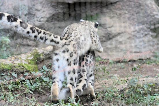 Snowleopards201210254