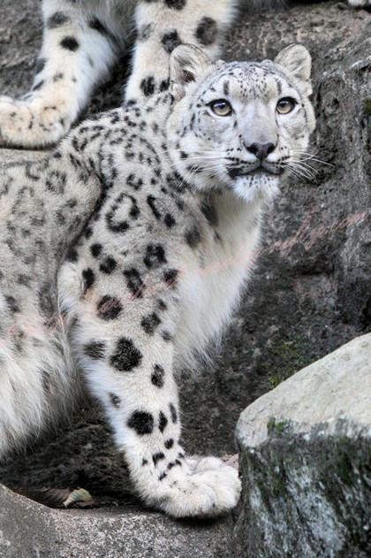Snowleopards201210257