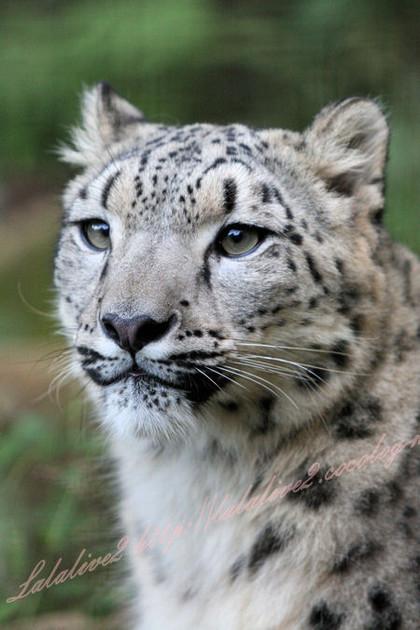 Snowleopards201210258
