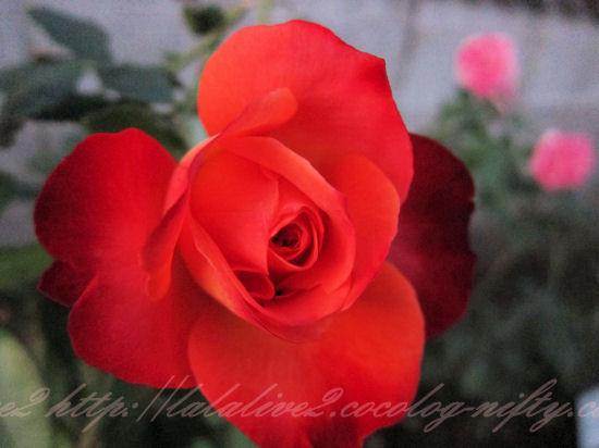 Rosebolero