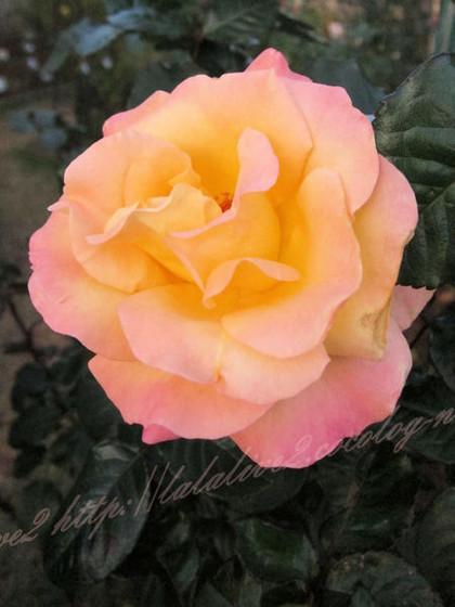 Rosemonalisa