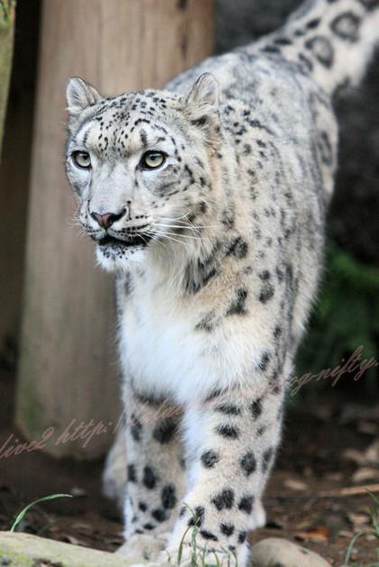 Snowleopardmirucha201210251