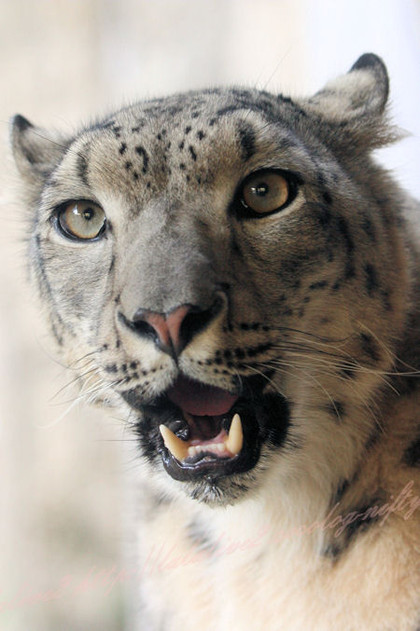 Snowleopardmirucha201210252